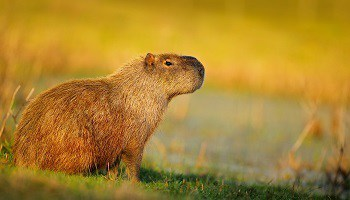capybara-amazon-copy