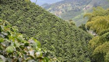 coffee-plantaions-near-pereira-colombia