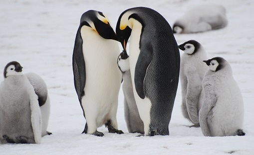 emperor-penguin-with-chicks-snow-hill-weddell-sea