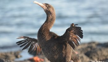flightless-cormorant-isabela-galapagos