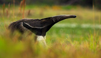 giant-anteater-guyana