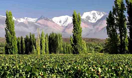 Grapevines in Mendoza
