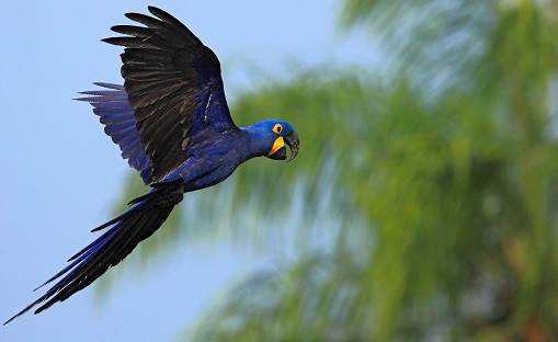 hyacinth-macaw-in-flight-pantanal