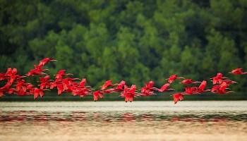 scarlet-ibis-venezuela