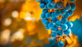 wineries-grapes-on-the-vine-argentina