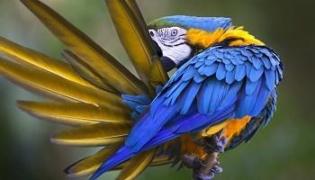 yellow-blue-macaw-copy