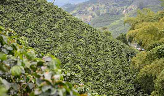coffee plantation Colombia