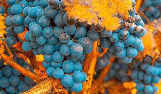 Mendoza Grapes