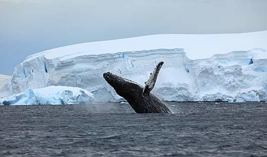 breaching whale antarctica