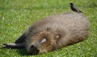 capybara-ibera-marshlands-argentina