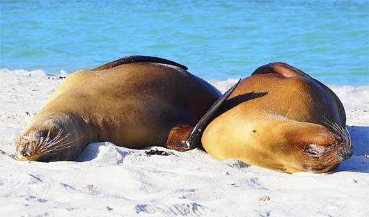 classic galapagos sea lions