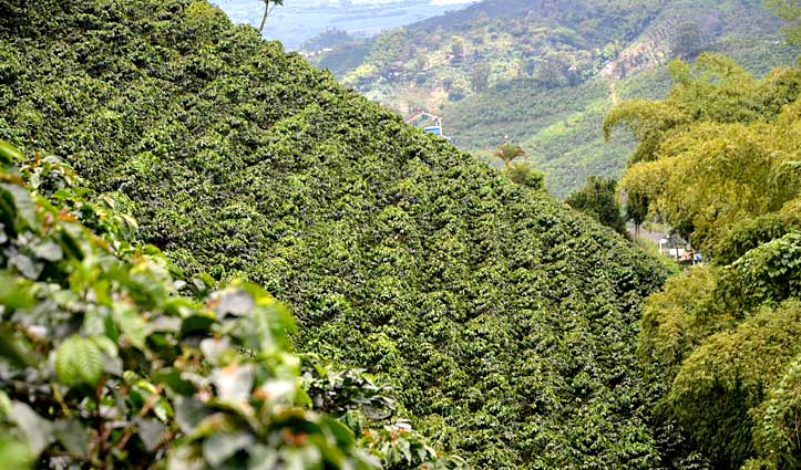 Colombia Coffee Plantation