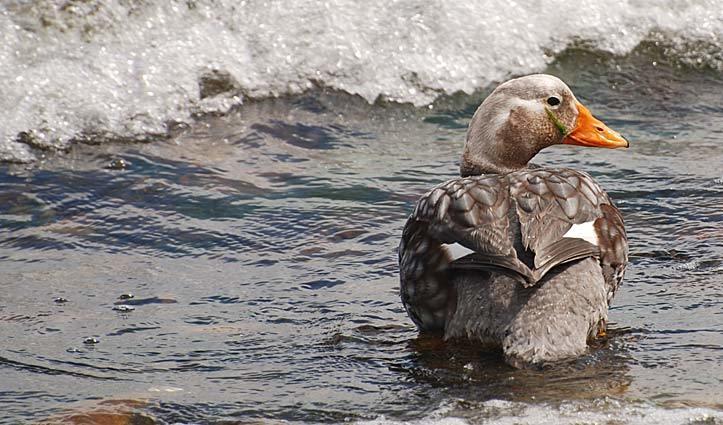 Falklands Flightless Steamemer Duck