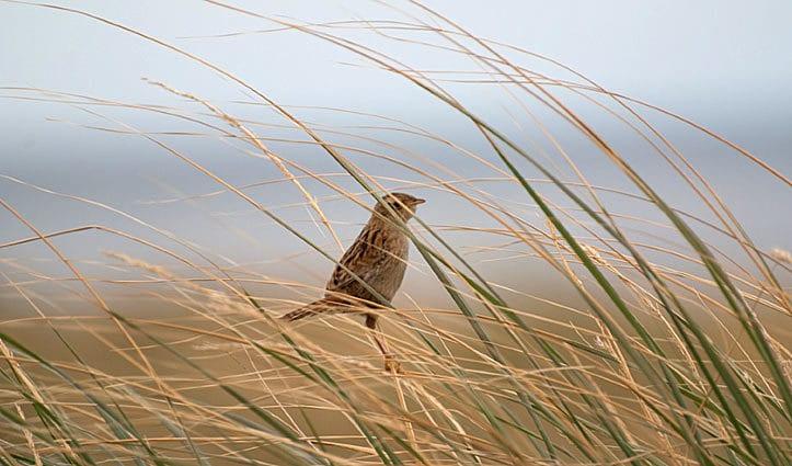 Falklands Grass Wren