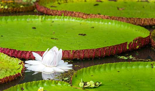 Giant lily Peru Amazon