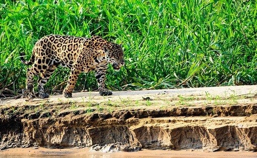 jaguar-riverbank-pantanal-brazil