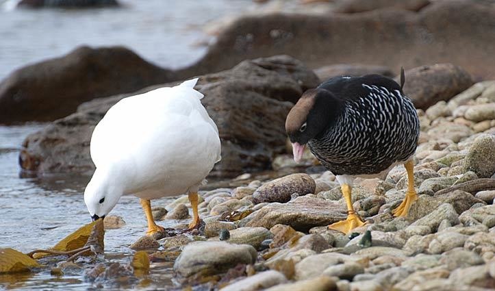 Kelp Geese
