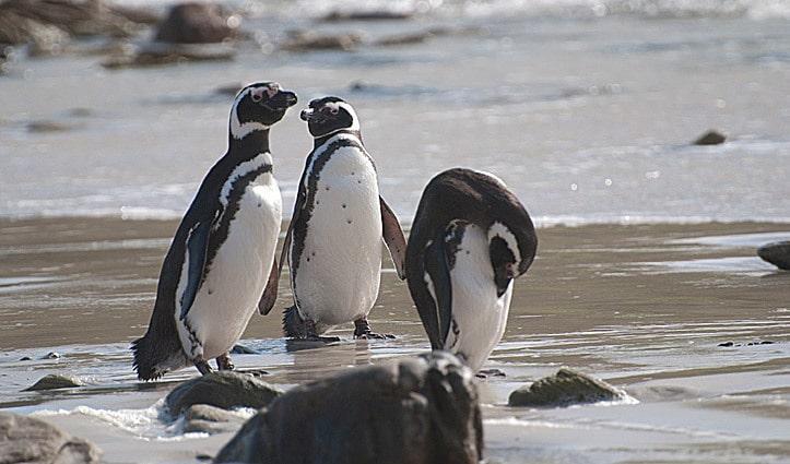 Magelannic Penguins