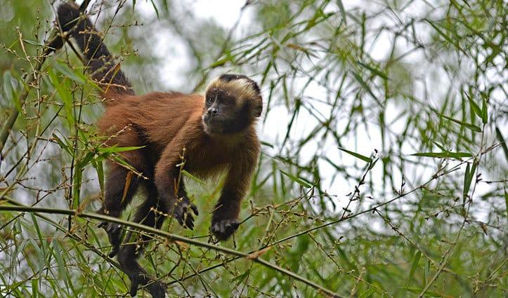 Monkey Amazon