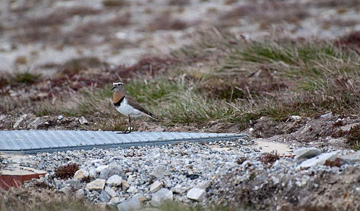 Rufous Chested Dotterel