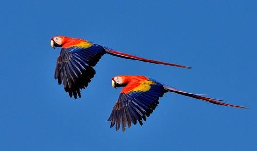 scarlet-macaws-amazon