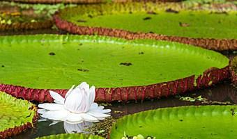 Victoria Regia Giant Lily