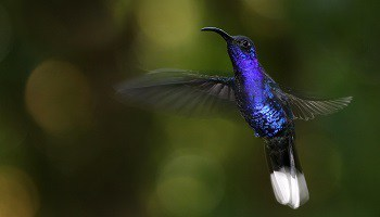 violet-sabrewing-hummingbird-monteverde-cloud-forest-costa-rica