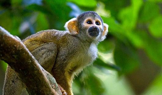 manu-monkey