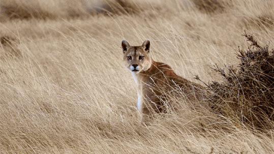 Puma Patagonia Chile
