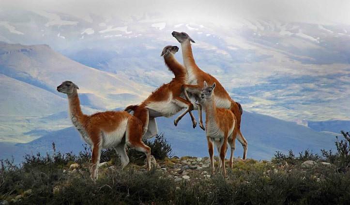 Torres del Paine, Patagonia, wildlife