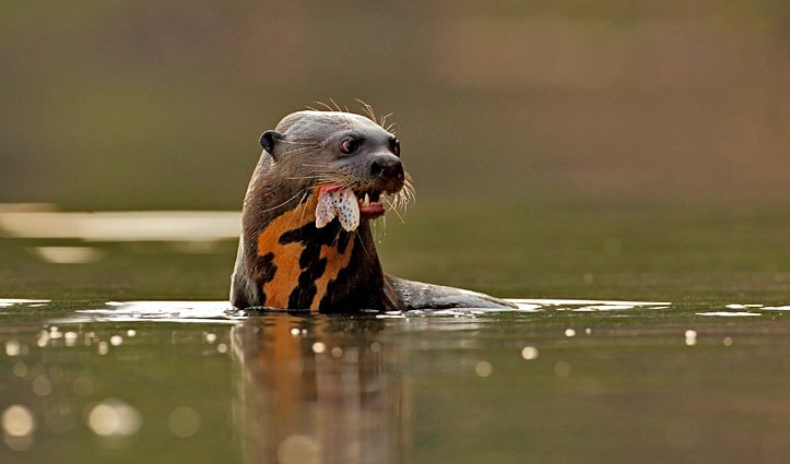 Giant forest otter