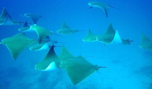 Galapagos Rays
