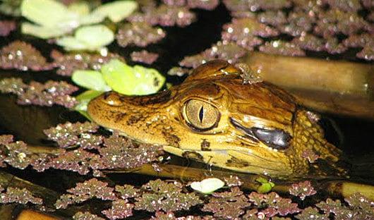 La Selva, Ecuador caiman
