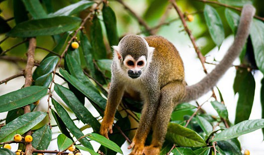 La Selva, Ecuador, Monkey in Amazon Jungle