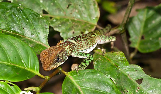 La Selva, Ecuador Amazon, Lizard