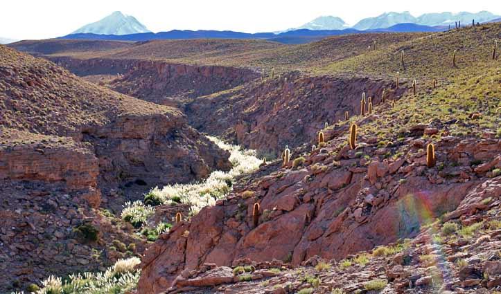 Cactus Valley Atacama Desert