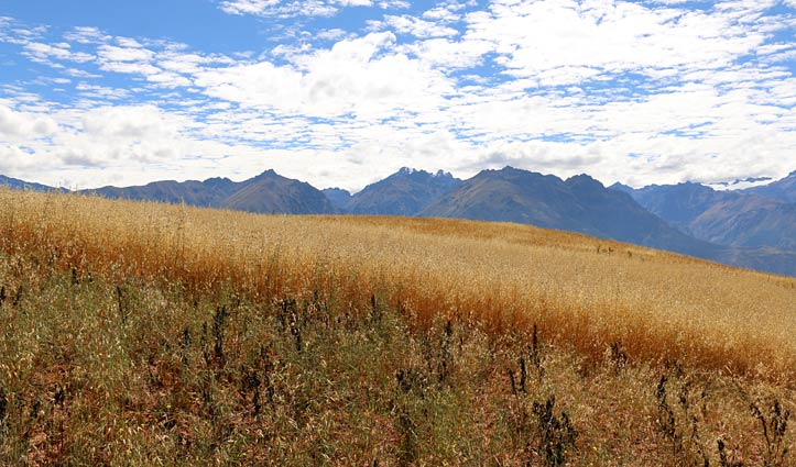 Wheat fields in the Sacred Valley