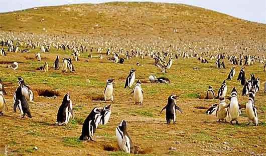 Magellanic Penguins, Magdalena Island, Patagonia Cruise