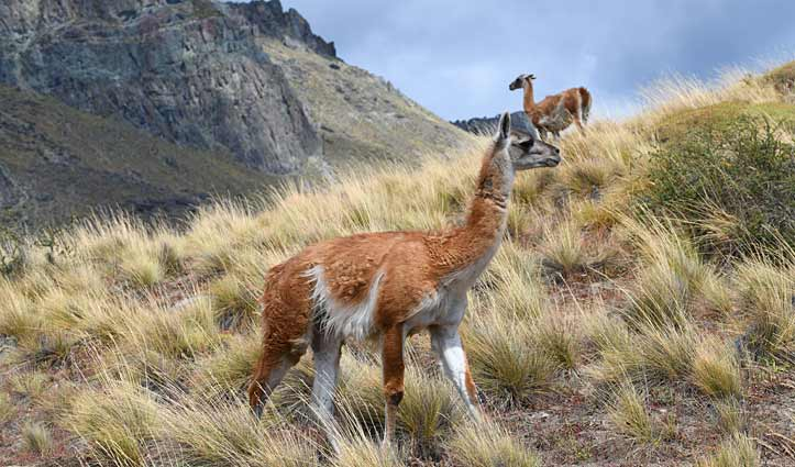 Guanaco, Patagonia Park