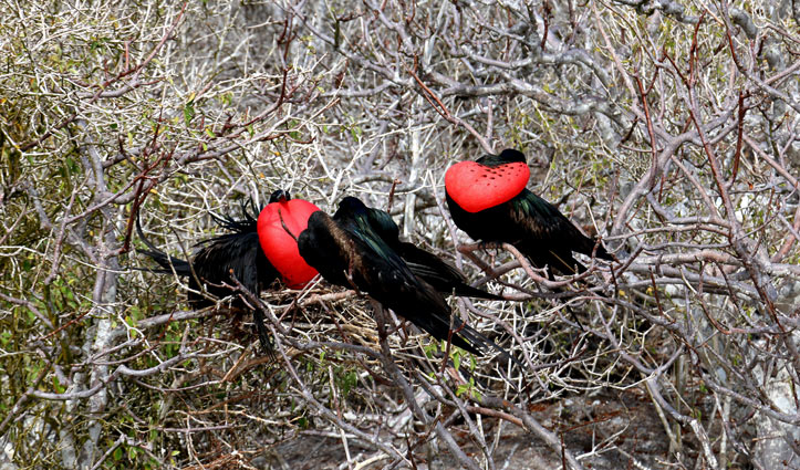 Frigatebirds Genovesa Island, Galapagos