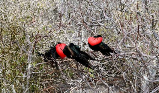 Genovesa Island, Frigate Birds
