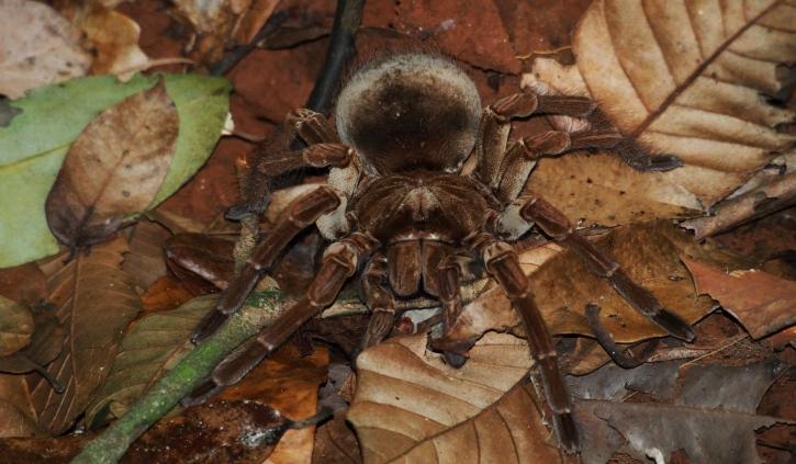 Birdeating spider