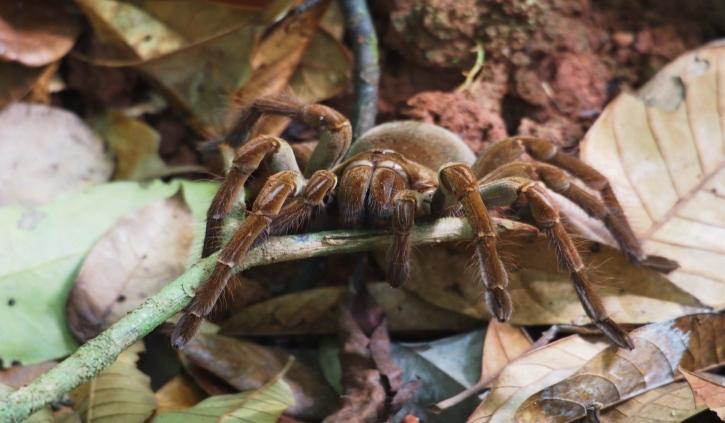 Goliath Birdeating Spider