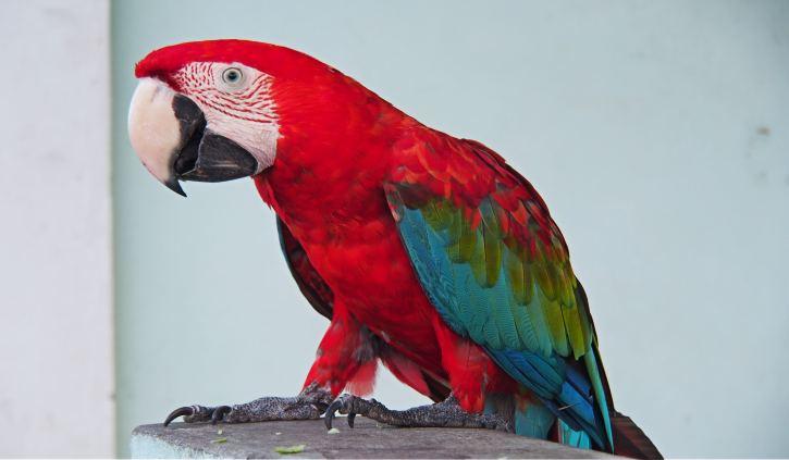 Macaw Georgetown
