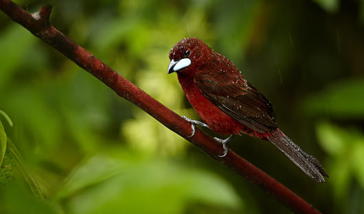 Silverbeaked-Tanager