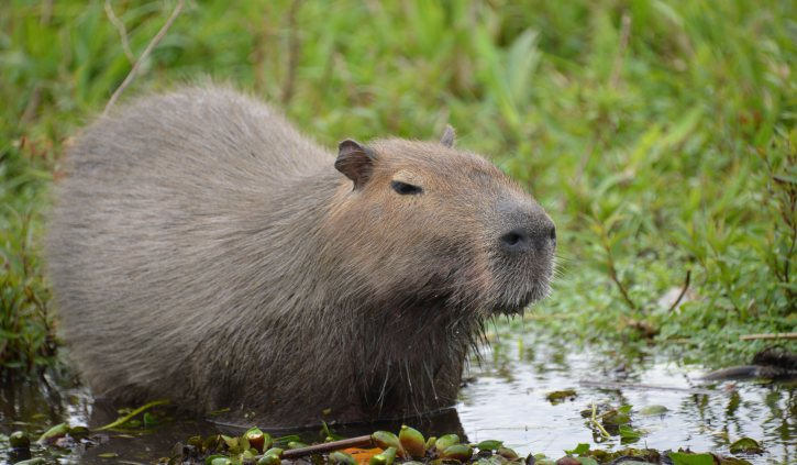 Capybara Argentina