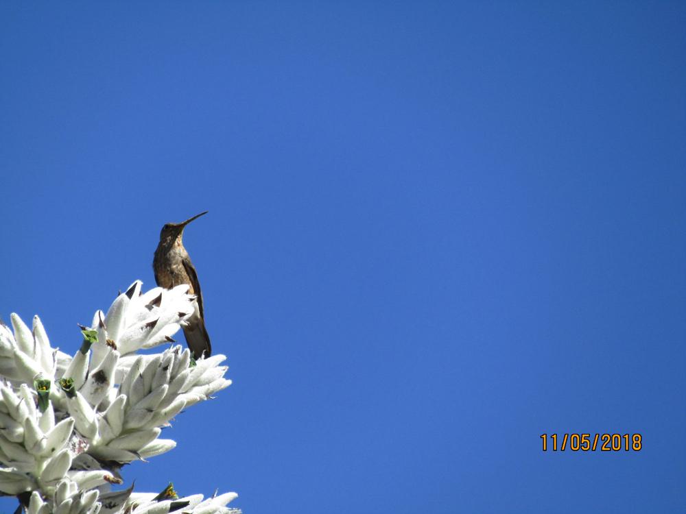 Hummingbird at Colca Canyon by Marian Harris