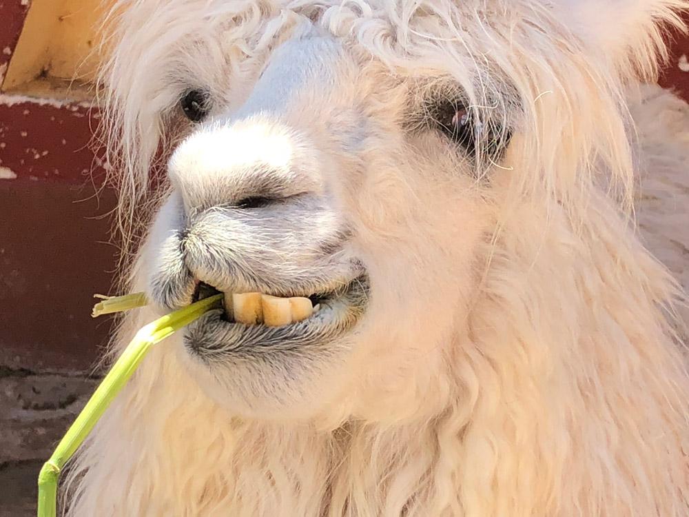 Llama in Peru by Craig Harris