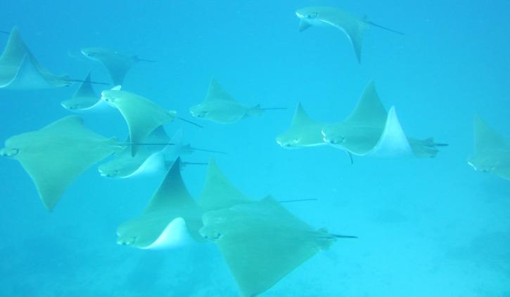 Manta Rays Galapagos
