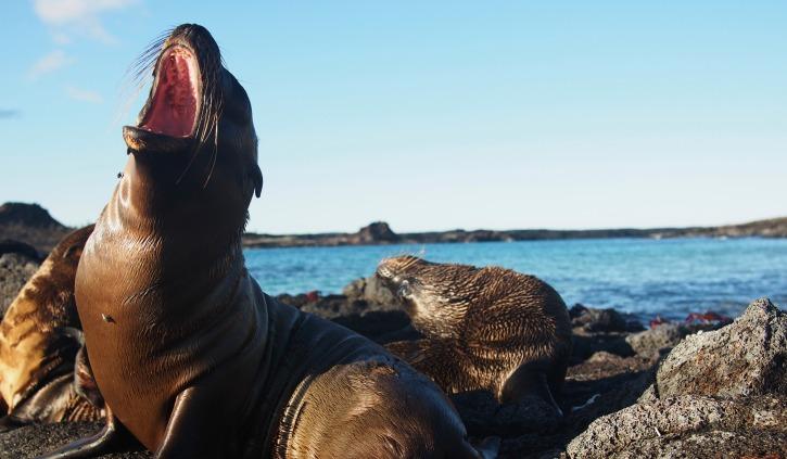 Playful Galapagos Sea Lions